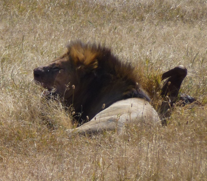 Male lion with wildebeest kill