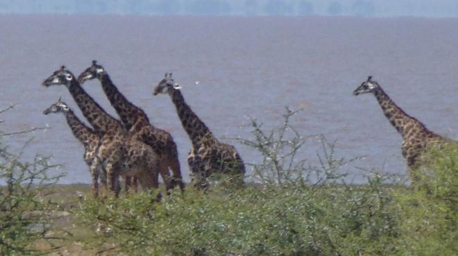 Giraffes by Lake Manyara