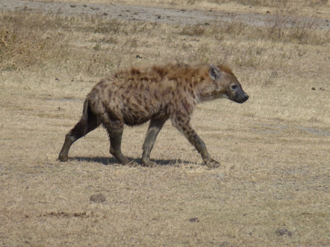 I gotta have a wildebeest, I gotta have a wildebeest, I gotta have a wildebeest!