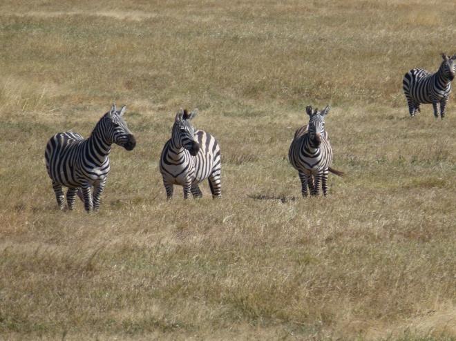 Zebras on alert for nearby predator