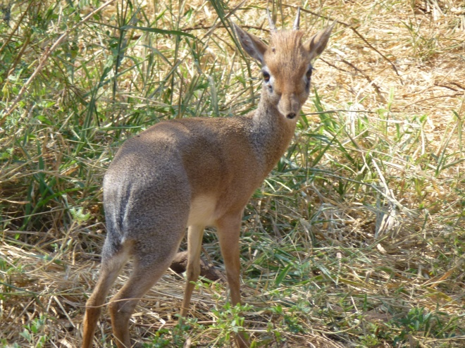 The shy and elusive Dik Dik
