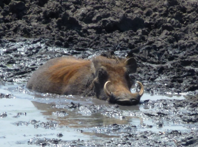 A warthog relaxes and cools off