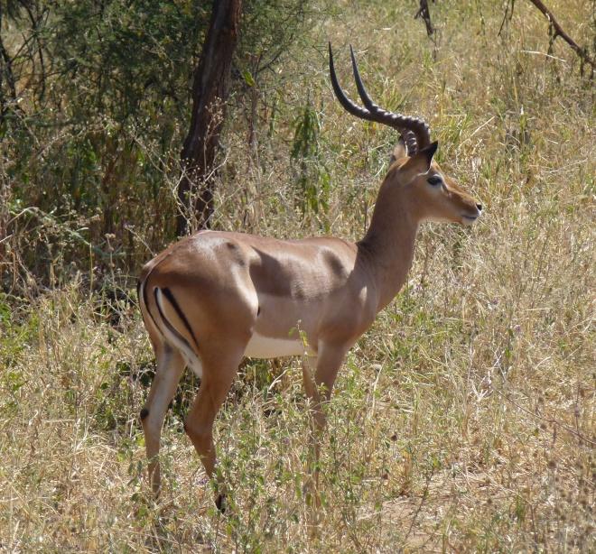 A Grant's Gazelle