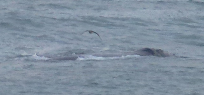 Wallowing whale from the shore of Hermanus