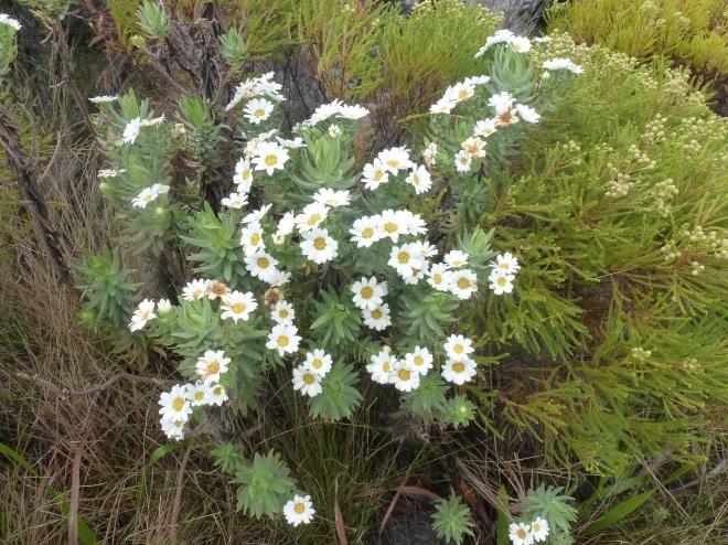 Flowers of the fynbos