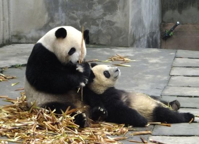 Momma panda and cub
