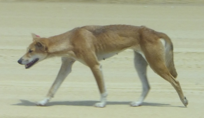 Dingos on Fraser Island are the most pure breed due its isolation.