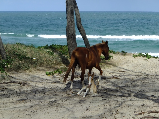 Feral mare and foal on Rainbow Beach.
