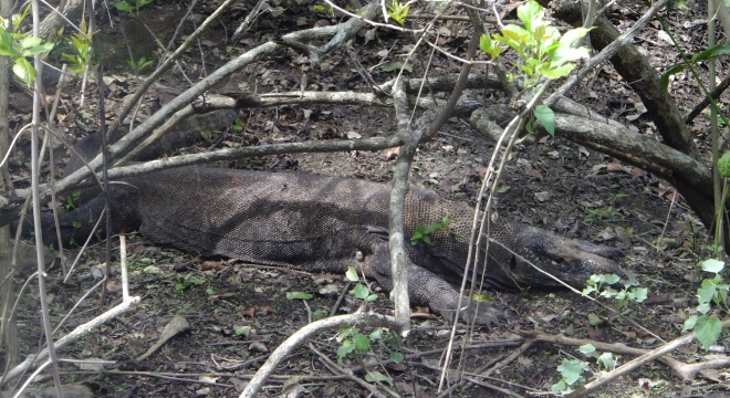 We were fortunate to see two Komodo Dragons in the wild. This female was guarding her eggs.