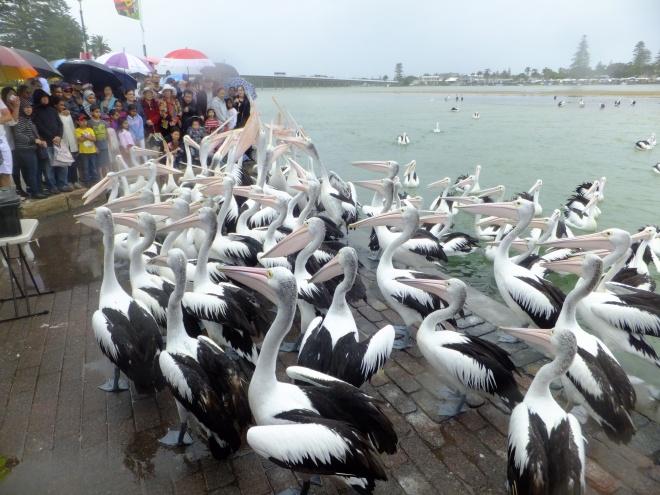 pelican feedings I