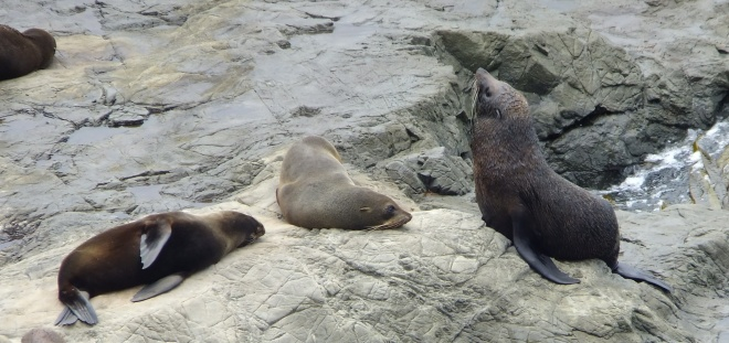 New Zealand Fur Seal Mother w/pups