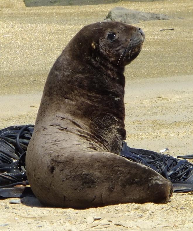 Sea Lion. A big boy, too!