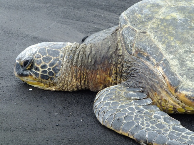 We found this guy lazing on Punalu'u, or Black Sand Beach