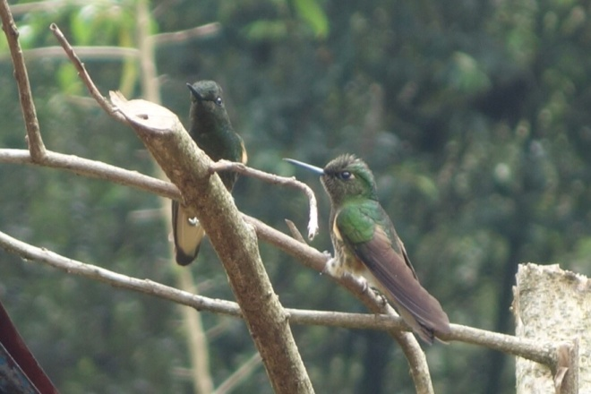 Hummingbirds at Acaime Reserve