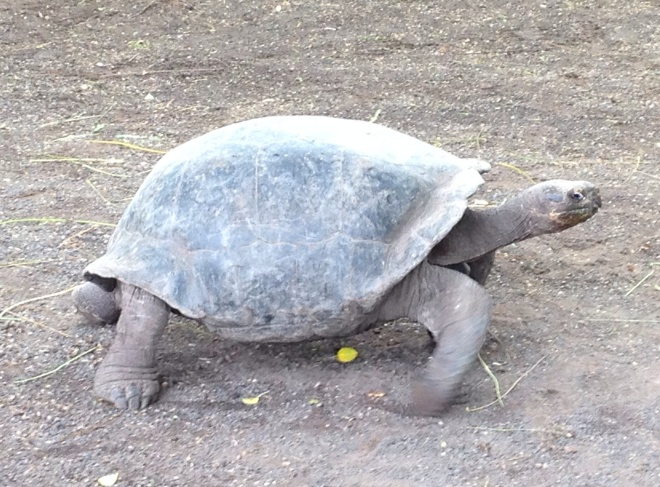 The Giant Galapagos Turtle can weigh over 800 pounds and live well beyond 100 years old in the wild