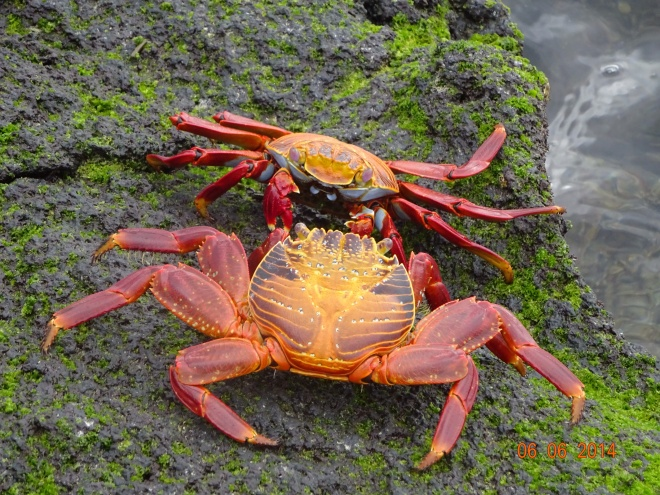 A couple of sally lightfoot crabs face-off