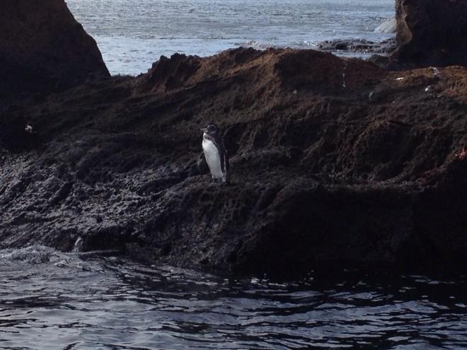 A Galápagos penguin