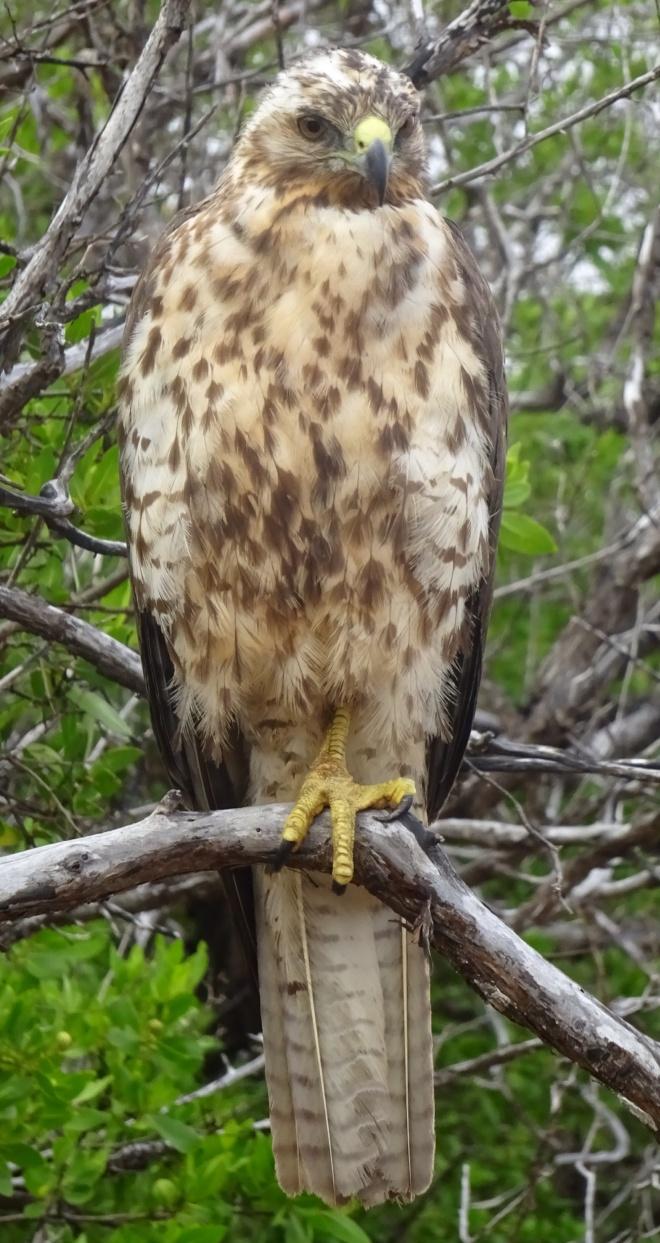 We saw many Galápagos Hawks