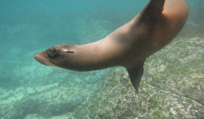 A Galápagos sea-lion in its underwater habitat