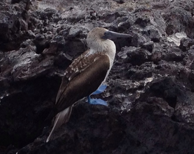 A blue footed boobie