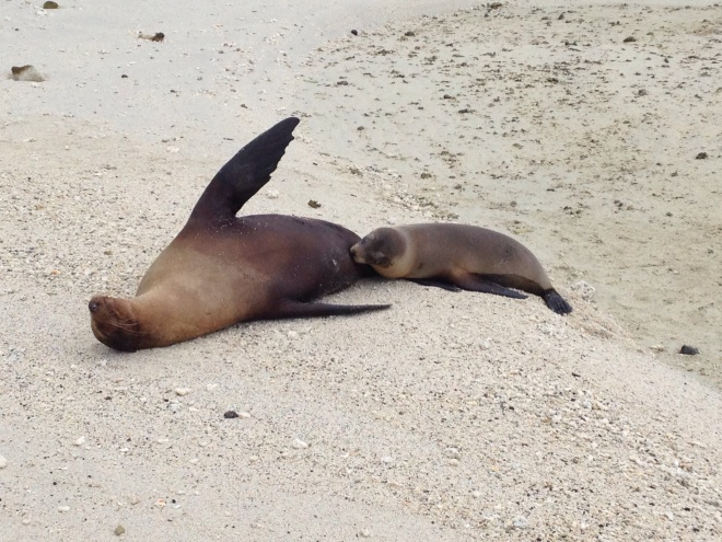 A sea lion nurses its pup